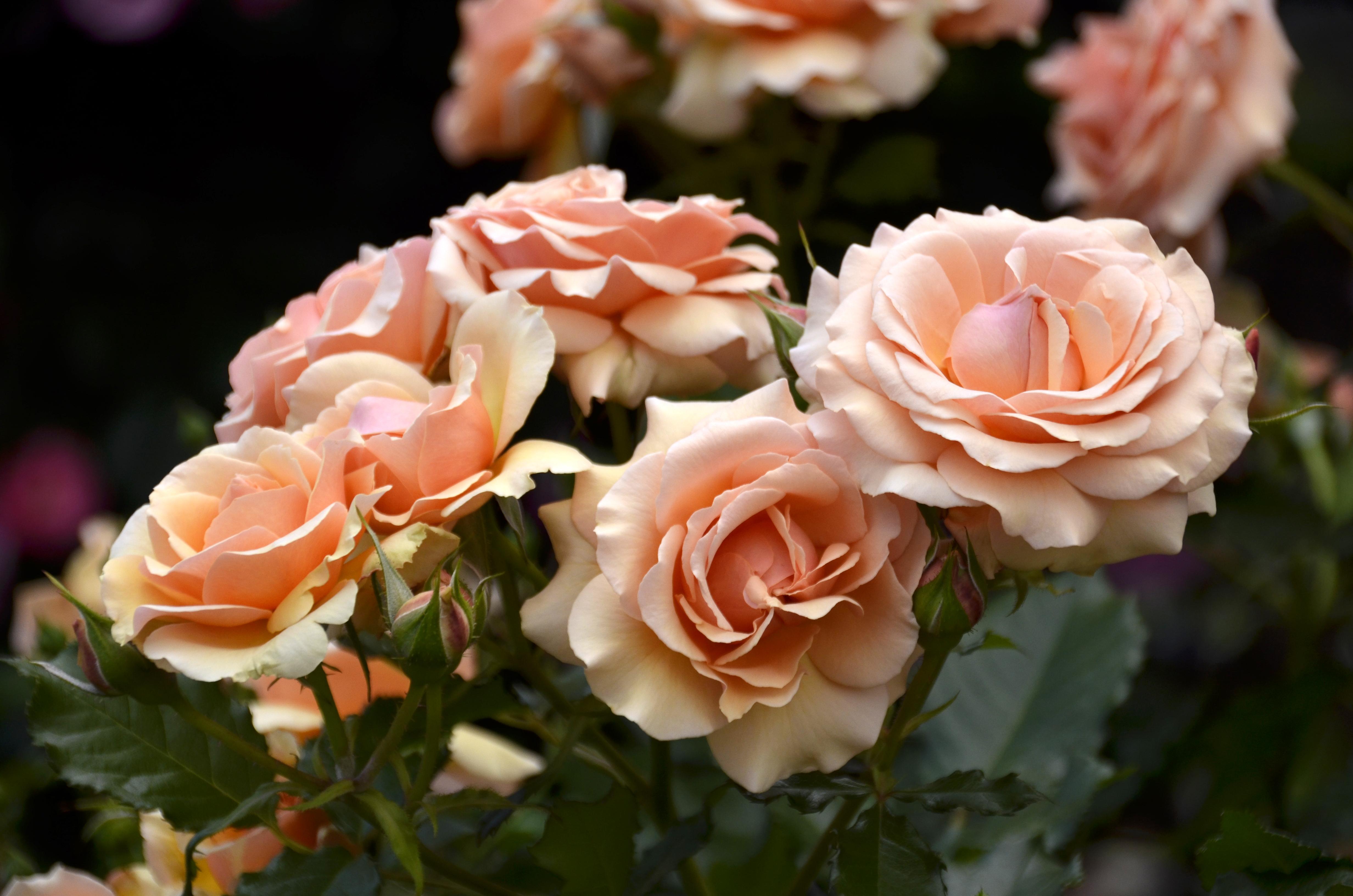 ピンクのバラ(大輪、つぼみ)
