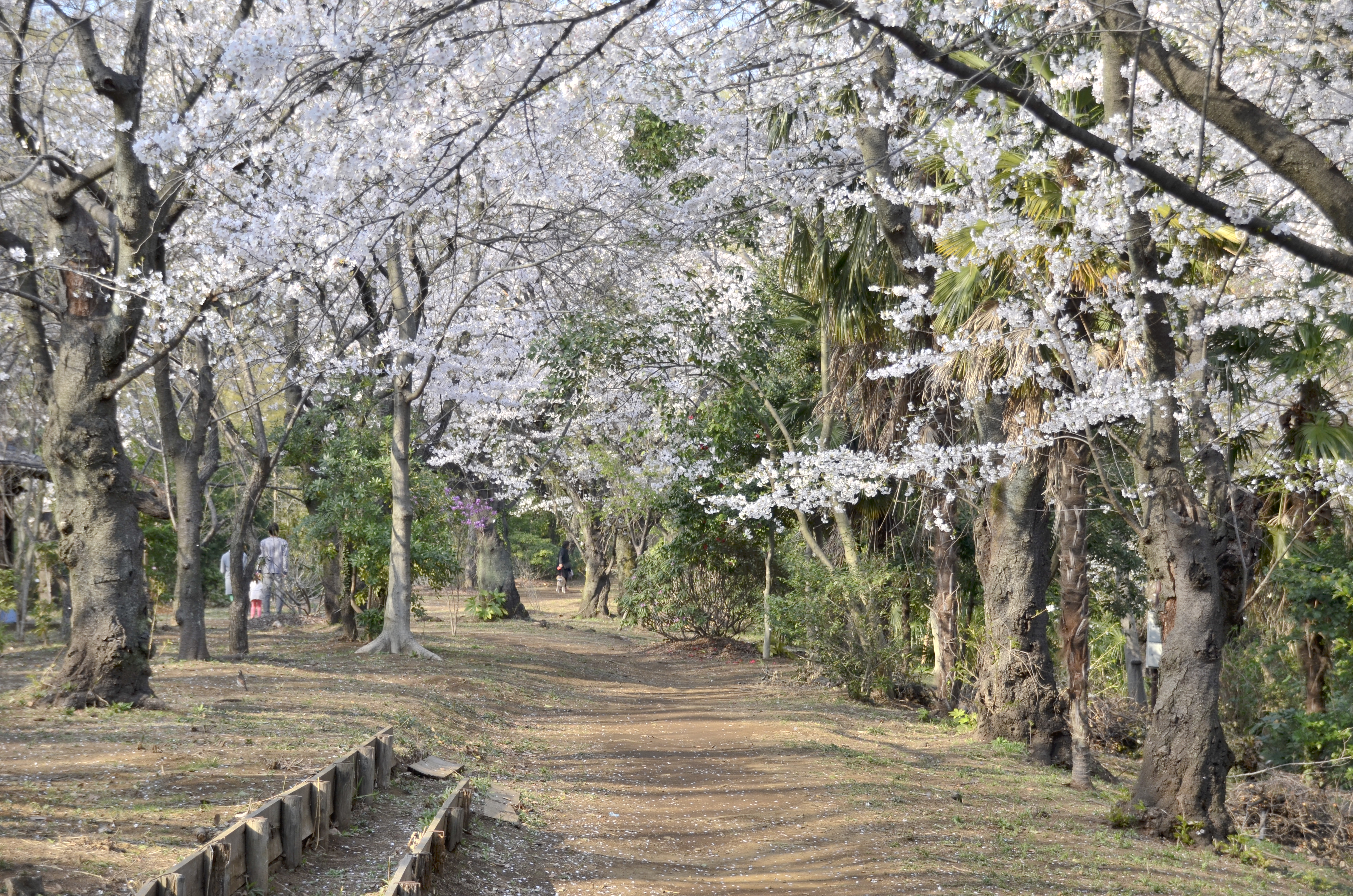 等々力渓谷の桜アーチ