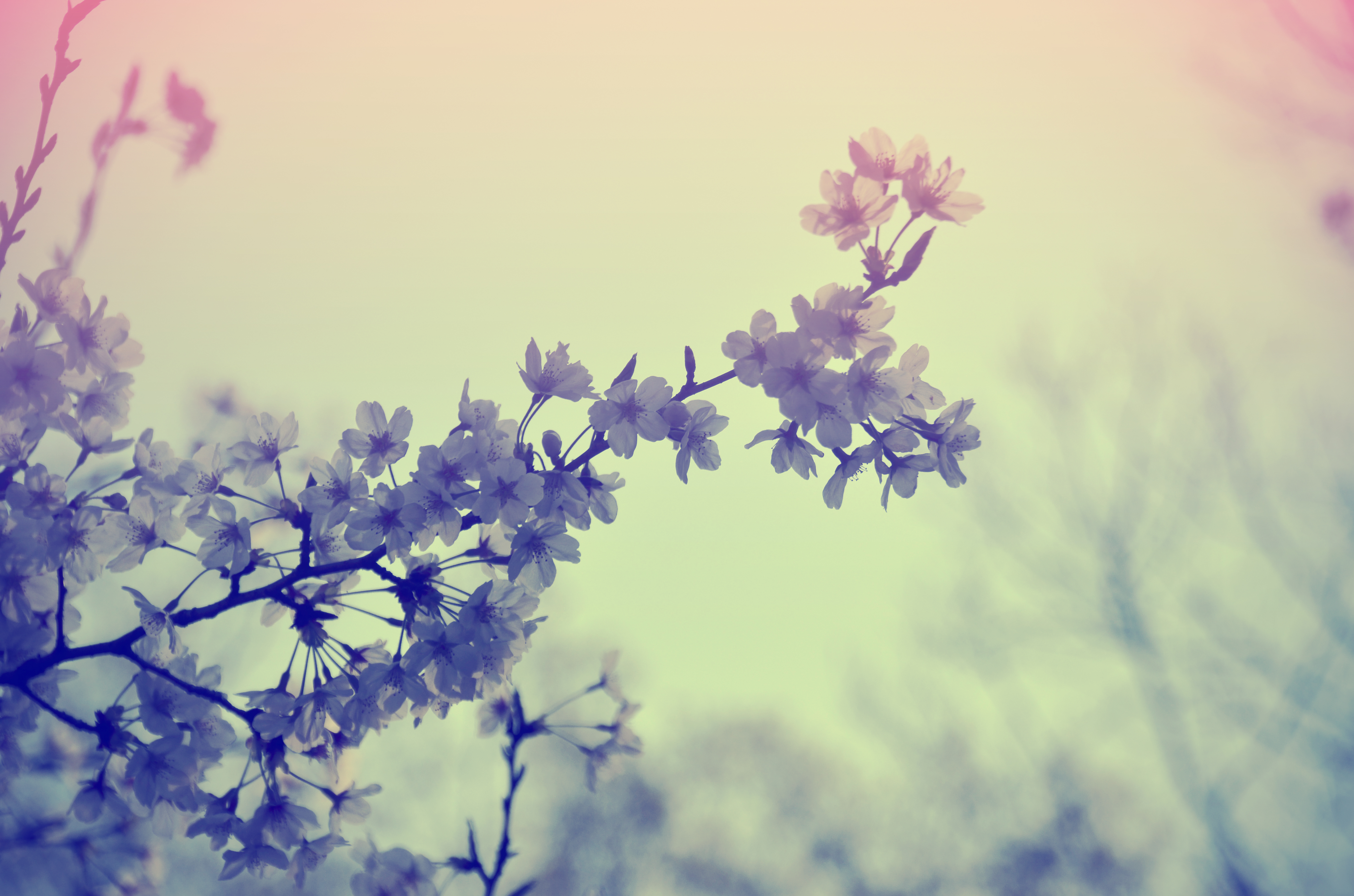 等々力渓谷の桜
